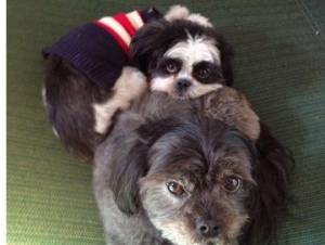 Black/white and gray fur shih tzus