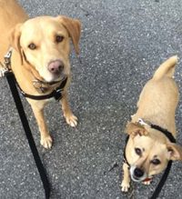 Chihuahua mix and Lab mix dogs