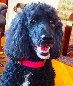 happy face, brown-eyes black poodle