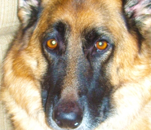 Tan and black female german shepherd